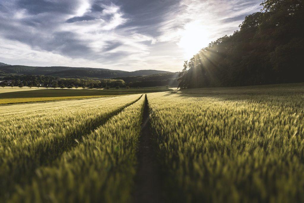 field, grass, crop